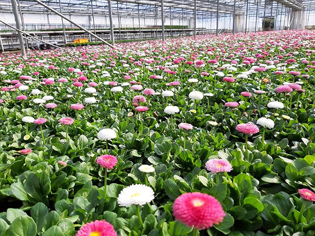 봄향기 전하는 농업기술센터 봄꽃분양1.JPG